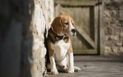 sad-beagle1-e1447760552196