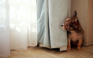 hide-and-seek-dog-desktop-wallpaper