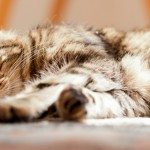 Detecting Arthritis in Cats