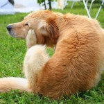 Ways To Prevent And Get Rid of Fleas on Dogs