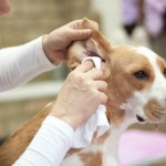 How To Keep Your Dog's Ear Healthy
