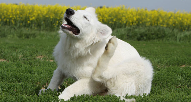 flea-treatment-for-dogs