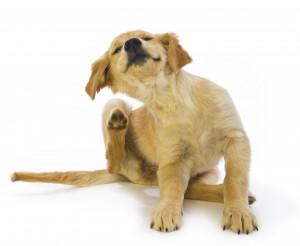 dog-itching-scratching