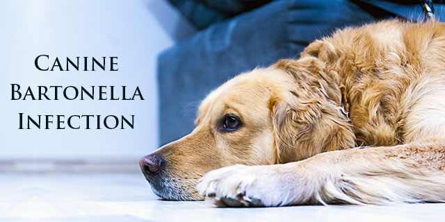 Canine-Bartonella-Infection