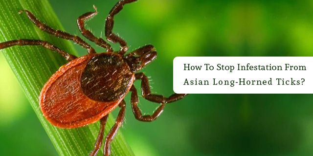 Long-horned-tick-is-just-like-any-other-tick-and-can-infest-the-pet